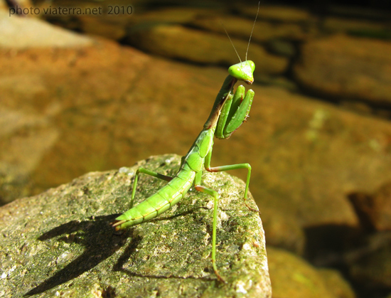 praying mantis mante religieuse